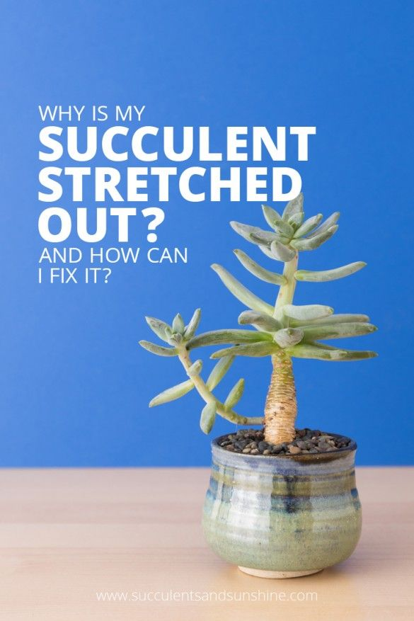 learn what causes succulents to stretch and lose their shape - plus, find out how to fix the problem.
