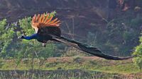 Pic of a flying (from Wikipedia), Green Peafowl, Pavo muticus. Breeds from Burma east to Java. The IUCN lists the Green Peafowl as endangered due to hunting and a reduction in extent and quality of habitat. It is a national symbol in the history of Burma.