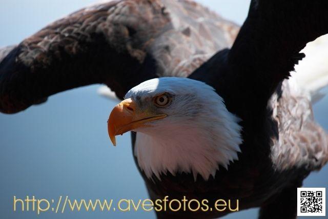 Águila calva - haliaeetus leucocephalus #aves #águila #rapaces #rapaz