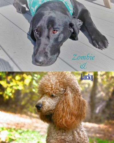 ****We are excited to announce that Zombie & Lucky are expecting a beautiful litter of CKC reg. F1 Medium Labradoodle puppies the 1st week of June 2017. Get on our waiting list early so you can pick your favorite puppy. We are accepting a $250 deposit to hold your place in the puppy picking order, which goes toward the total purchase price (we accept cash and Venmo). Individual pups can be chosen at 5 weeks after their personalities and puppy coat start to show. Puppies are chosen in the ...