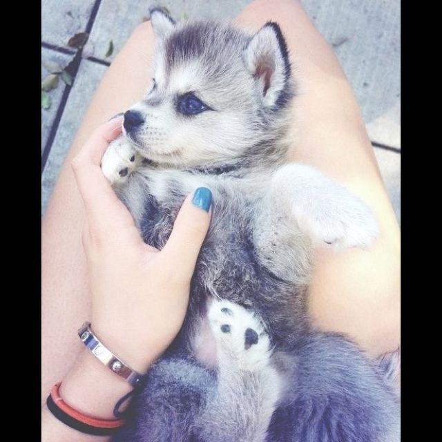 Pomsky (Pomeranian&Husky Mix)