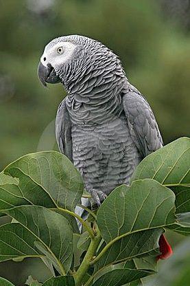 Papagaio cinza africano ou papagaio-do-congo (Psittacus erithacus) é papagaio africano, de plumagem predominante cinzenta e cauda vermelha, comum em diversas partes do mundo como animal de estimação.