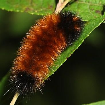 Woolly worms! According to folklore, their stripes predict winter weather. Find any?