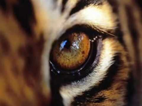 Έχω μια τίγρη μέσα μου, άγρια λιμασμένη π' όλο με περιμένει κι όλο την καρτερώ, τηνε μισώ και με μισεί, θέλει να με σκοτώσει, μα ελπίζω να φιλιώσει καιρό με τον καιρό.  Ψαραντώνης Στίχοι-Μουσική: Δημήτρης Αποστολάκης
