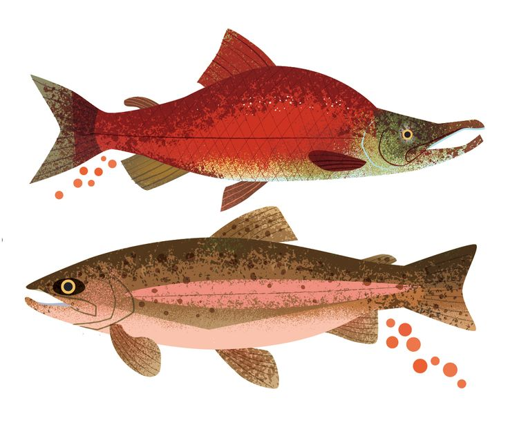 salmon and trout eggs #salmon #trout #fisheggs #illustration