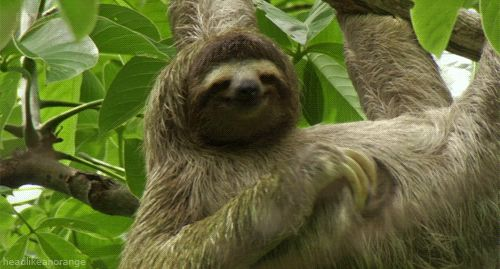 Sloth scratching. Animated GIF.