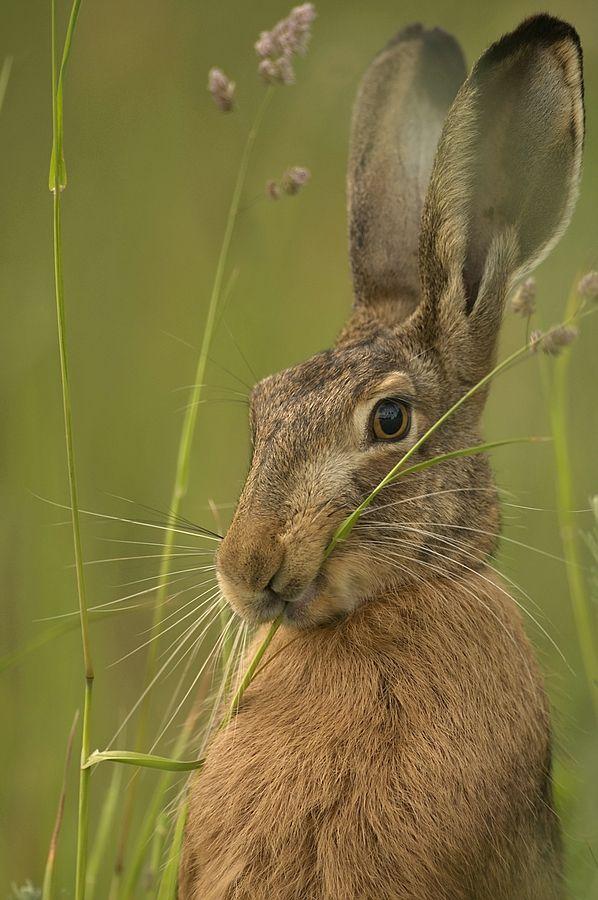 """Well ..."" - by Ruediger Kaminsky #hare #wildlifephotography"