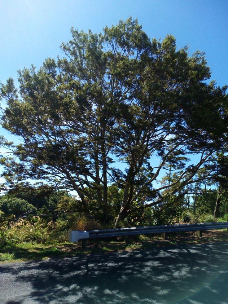Huge beech tree in Hamilton East.
