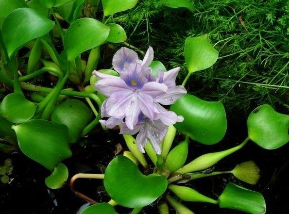 Terbaru 30 Gambar Bunga Yang Hidup Di Air 36 Macam Tanaman Hias Dan Liar Yang Hidup Di Air Download 40 Jenis Tanaman Hias Taha Di 2020 Bunga Teratai Bunga Tanaman