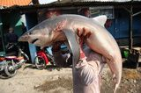 A worker carries a shark at Muncar Port in Banyuwangi, Indonesia.