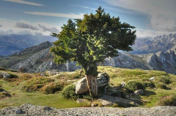 TEJO: Taxus Son un género de árboles coníferos de la familia Taxaceae, propios de las zonas montañosas, con ambientes frescos y húmedos, y que prefieren los terrenos calizos. Pueden alcanzar una altura de hasta 20 metros. Son muy longevos pudiendo superar los 1500 años de vida. Tienen hoja perenne.