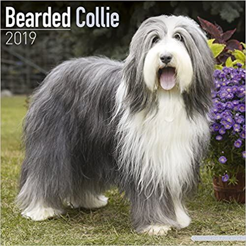 Bearded Collie Calendar Dog Breed Calendars 2018 2019 Wall Calendars 16 Month By Avonside Megacalendars 978178580285 In 2020 With Images Bearded Collie Collie Dog Breeds