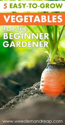 5 Easy-to-Grow Vegetables for the Beginner Gardener! Radish, celery, lettuce, beets, sugar snap peas. Good tips, too.