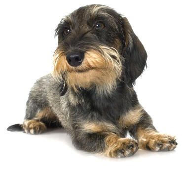 Miniature Wirehaired Dachshund | Coat: The Dachshund comes in three coat varieties and those are long ...