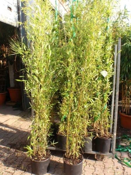 Die besten 25+ Bambus pflanzen Ideen auf Pinterest Bambus garten - pflanzen topfen kubeln terrasse