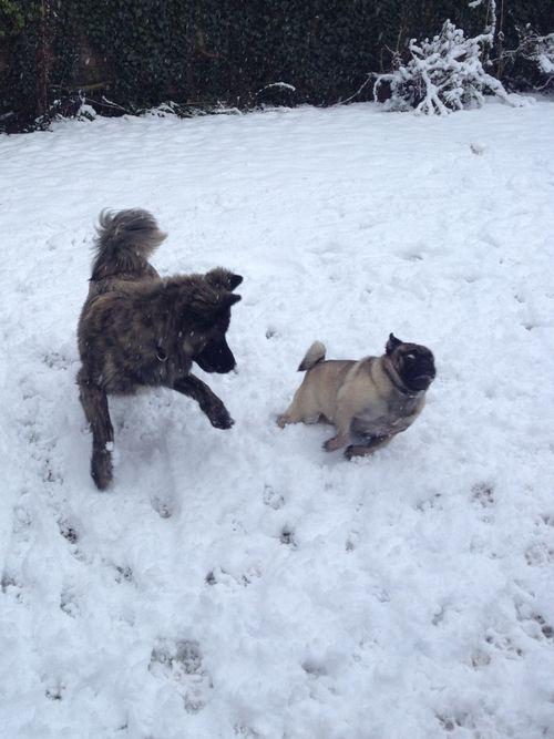 Run Mr. Pug!