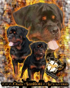 Guardian Rotweilers - Rottweiler Puppies For Sale In Indiana