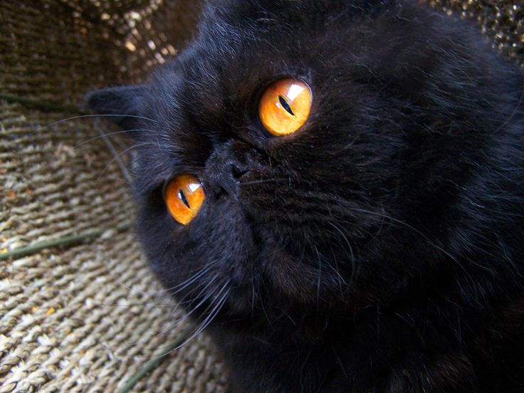 Cute Baby Blue Wallpapers Black Persian Cat Funny Cat Wallpapers Persian Cat