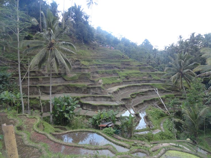 ricefields view
