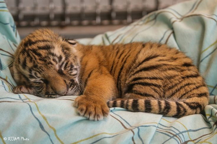 https://flic.kr/p/QESjhU | Cincinnati Zoo 2-8-17-4004 | Tiger Cubs - 5 days old