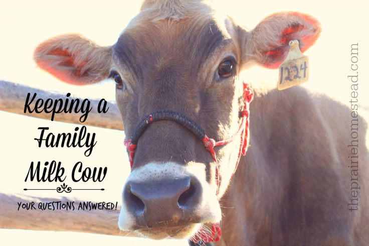 Owning a Family Milk Cow: Your Questions Answered! | The Prairie Homestead