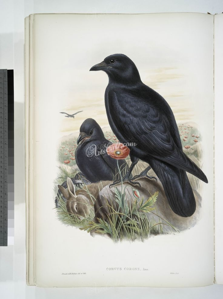 182-Corvux corone. Carrion-Crow   ...