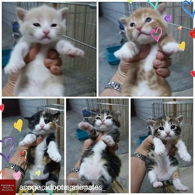 Reposted From Acoge Adopta Animales Get Regrann Asociacioncongdegato Get Regrann Estos Cinco Bebés Son Unos Peluches Preciosos Han Cats Animals