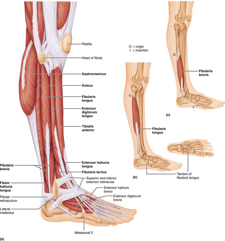 Der Musculus peronaeus longus lat für langer Wadenbeinmuskel ist die weit verbreitete jedoch veraltete Bezeichnung für den Musculus fibularis longus