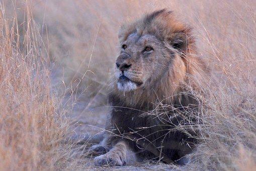 Botswany, Lew, Afryka, Savuti
