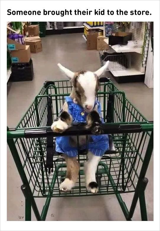 Ha Ha - baby goats dressed up in a shopping cart. Farmers only???