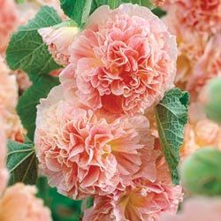 Hollyhock Peaches n Dreams Perennial Flower Seed by CheapSeeds