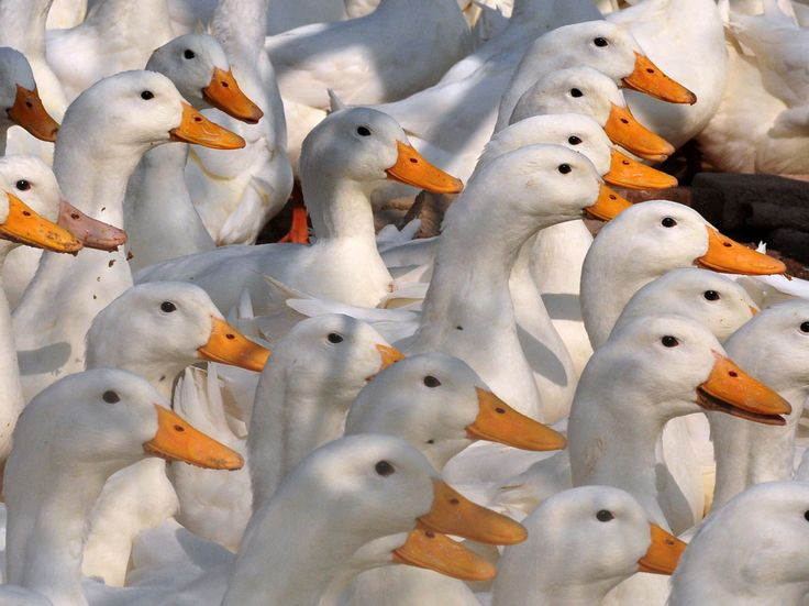 Dutch authorities destroy 190,000 ducks after bird flu outbreak