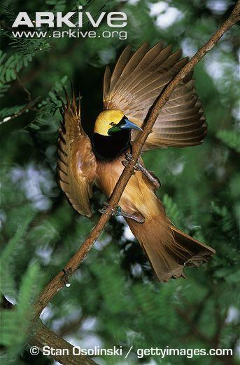 33 Raggiana Bird Of Paradise Most Beautiful Top 33 Raggiana