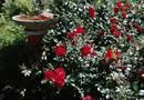 How to Care for a Knockout Rose in a Container Garden | Home Guides | SF Gate