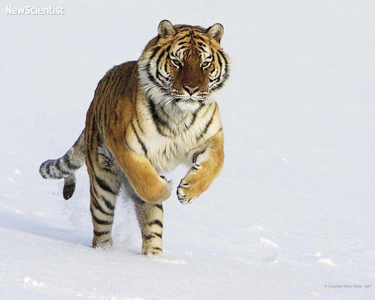 Amur Tiger Snow - Amur Tigers Wallpaper (27124228) - Fanpop