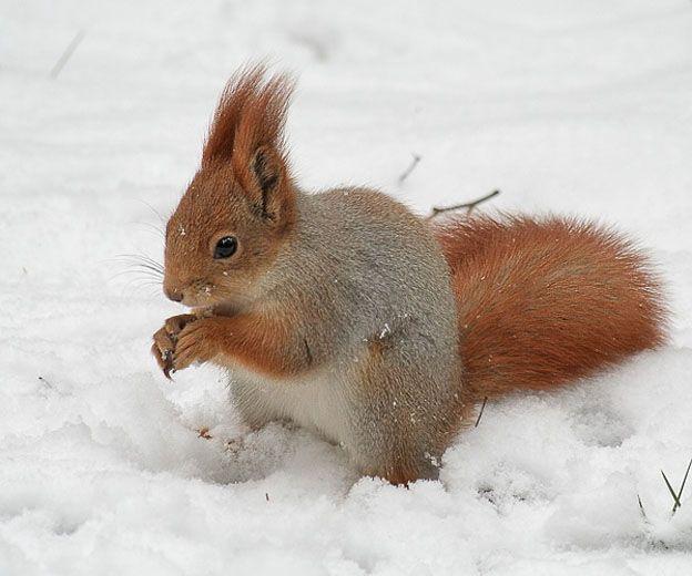 Esquilo vermelho ( Sciurus vulgaris)