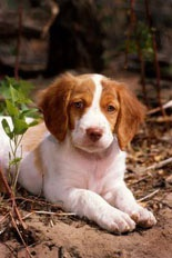 "Brittany Spaniel Puppy --- ~sigh~ even though they're not ""spaniels"""