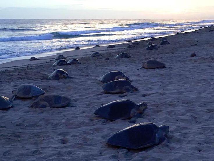 Llegan cientos de Tortugas Golfinas a desovar en Playa La Escobilla