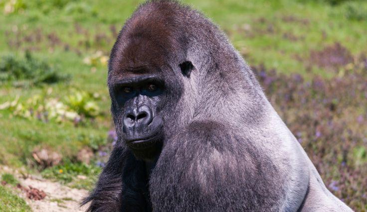 Harambe Threatening Child Unlike Heroine Gorilla Binti Jua? Videos Show Different Behaviors