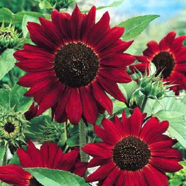 Helianthus 'Velvet Queen' Sunflower: Annual, sun, 5'H branching, rich deep red w/ black centres; branching type & pollen-less so excellent cut flower; pinch out seedlings for +blooms, make sure the plants don't want for anything in the first weeks of growth