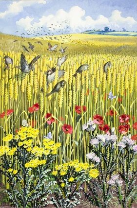 Sparrows in a corn field, illustration by C. F. Tunicliffe for the Ladybird book 'What to look for in summer', 1960.
