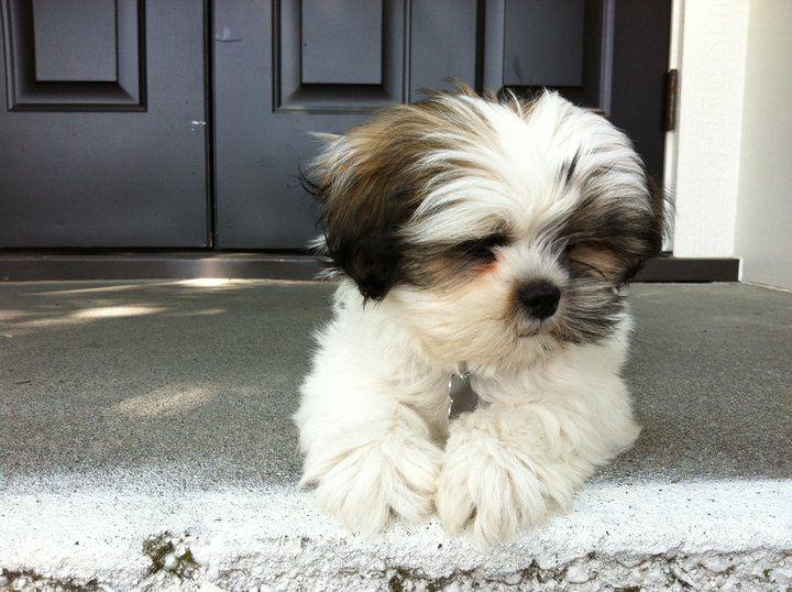 Lhasa apso puppy - Lady Oscar