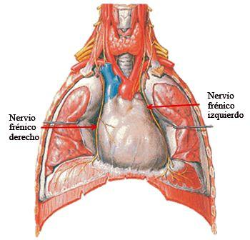 Fig. 6.8. Cavidad torácica (vista anterior): trayecto del nervio frénico.