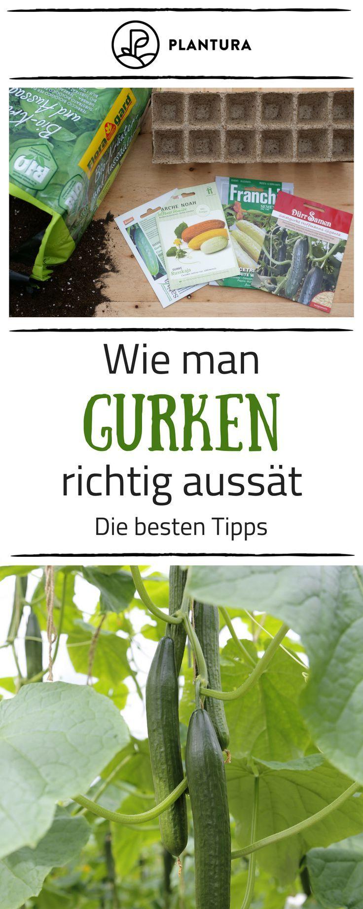 Gurken Anpflanzen