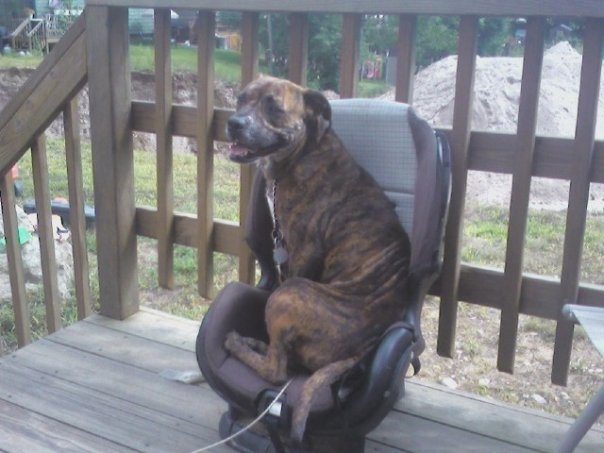 Boxer/Pit ....LuLu would do this. She DOES do this with my wheelchair.