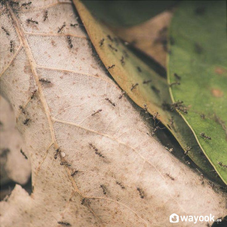 M s de 25 ideas incre bles sobre plaga de hormigas en for Como eliminar plaga de hormigas