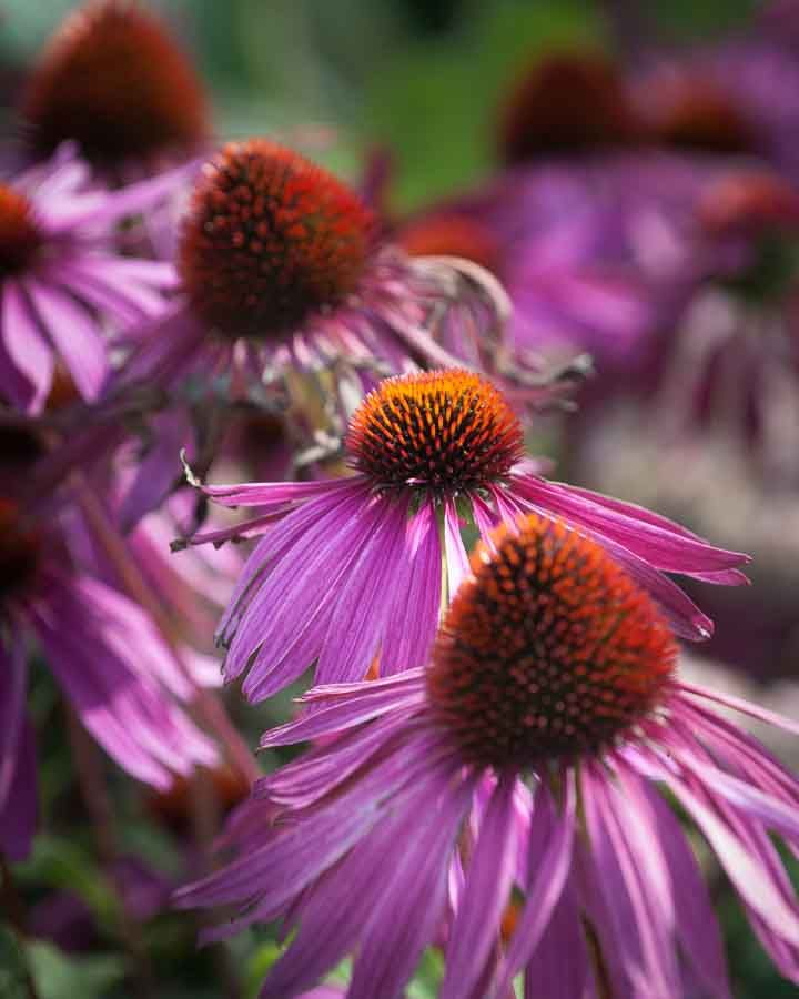 Purple flowers in a row. Image©K Woodland/K Woodland Photography.