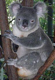 Dişi koala........__Koala büyük kafalı, körelmiş kuyruğu olan ya da kuyruksuz, tıknaz bir hayvandır.Boyu 60 ila 85 cm., ağırlığı da 4 ila 15 kg. arasında değişir ve bu boyutlar ile ağaçlarda yaşayan en büyük keseli memeli türüdür
