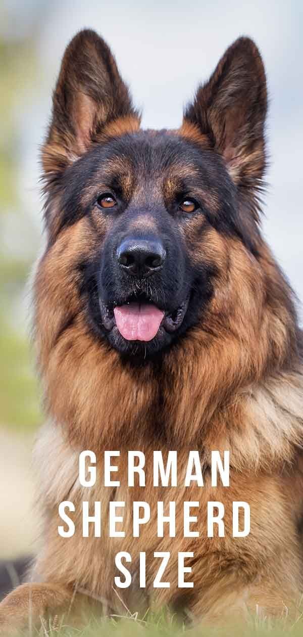 German Shepherd Size Growth Height And Weight Large German