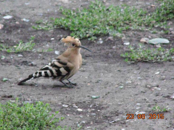 На улице в Новокузнецке поселился удод. Редкую птицу жители Новокузнецка увидели у дома №81 на улице Транспортной.